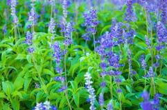 Lavande fraîche botanique Images stock