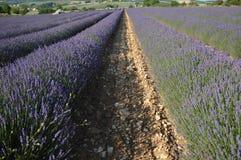 Lavande nel sud della Francia, Provenza, sault Immagini Stock Libere da Diritti