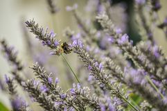 Lavande parfumée avec l'abeille Photo stock
