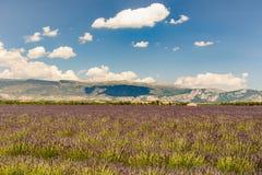 lavander领域的风景 免版税库存照片