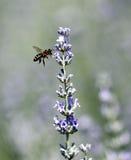 lavander пчелы Стоковая Фотография RF