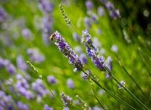 lavander пчелы Стоковая Фотография
