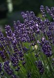Lavander - самые ароматичные цветок/трава на земле планеты стоковое фото rf