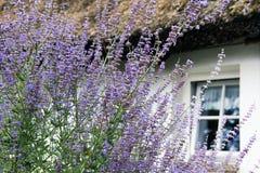 Lavander с домом сельской местности Стоковое Изображение