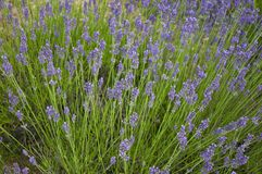 Lavander Royalty Free Stock Image