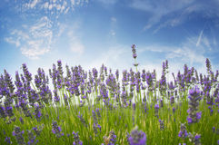 Lavander Royalty Free Stock Photography
