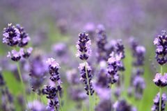 Lavander Royalty Free Stock Photo