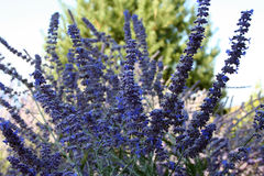 Lavander Royalty Free Stock Photos