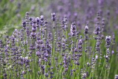LAVANDER Stockfotos