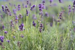 LAVANDER Photos stock