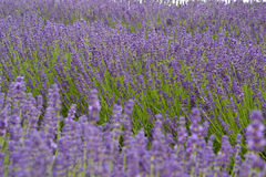 Lavander. Beautiful lavander is growing in the field Stock Photos