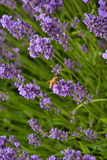Lavander. Beautiful lavander is growing in the field Royalty Free Stock Photography