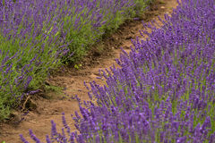 Lavander. Beautiful lavander is growing in the field Stock Photography