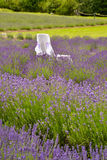 Lavander. Beautiful lavander is growing in the field Royalty Free Stock Photo