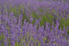 Lavander. Beautiful lavander is growing in the field Stock Photo