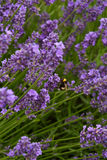 Lavander. Beautiful lavander is growing in the field Stock Images