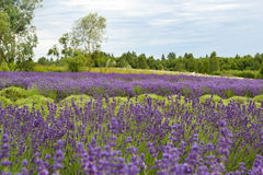 Lavander. Beautiful lavander is growing in the field Stock Image