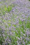 Lavander. Beautiful laendar field in a cultiavated garden in France Royalty Free Stock Image