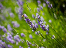 Lavander and bee Stock Photography