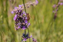 Lavander with bee. Purple lavander in sun with bee stock images