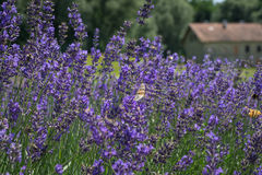 Lavander blooms Royalty Free Stock Image