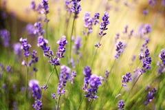 Lavander Blumen Stockbild