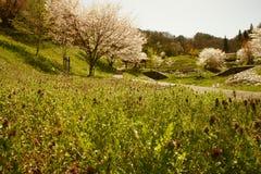 Lavander del flor de cereza Imágenes de archivo libres de regalías