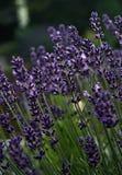 Lavander - den mest aromatiska blomman/örten på planetjorden royaltyfri foto