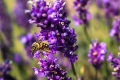 Lavander et abeille Photographie stock