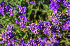 Lavander et abeille Photo stock