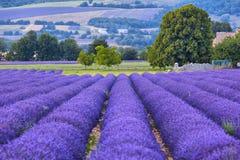 Lavander fält i Provence Royaltyfri Bild