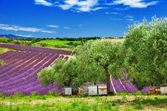 Lavander fält i Provence, Frankrike Arkivfoton