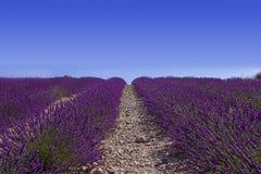 Lavander fält med blå himmel royaltyfri fotografi