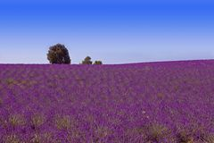 Lavander fält med blå himmel royaltyfri foto