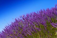 Lavander fält med blå himmel arkivbild