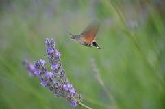Lavander för pollination för kolibrihökmal fotografering för bildbyråer