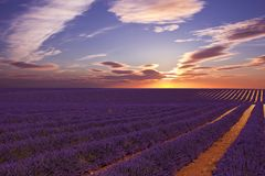 Lavander Field with amazing sunset royalty free stock images