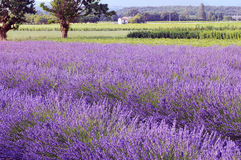 Lavander field Royalty Free Stock Image