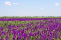 Lavander field Stock Photography