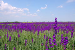 Lavander field Royalty Free Stock Photography