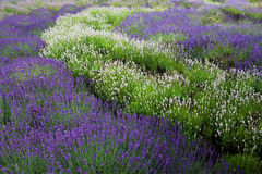 Lavander field Stock Photos