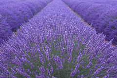 Lavander field. Blooming lavender field in Provence stock photos