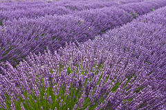 Lavander field. Blooming lavander field in Provence Stock Image