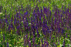 Lavander field Stock Photography