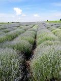 Lavander field. Blooming lavander field in Bulgaria ,Europe Stock Image
