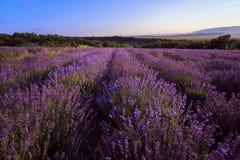 Lavander field of Crimea. Flower field. Stock Images