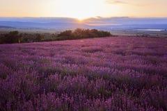 Lavander field of Crimea. Sunsen. Stock Images