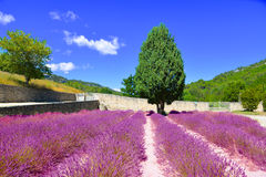 Lavander field. Royalty Free Stock Images