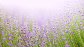 Lavander field. Royalty Free Stock Images