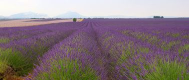 Lavander field in provence royalty free stock image